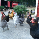 Chickens of Instagram – 11 Amazing IGers you'll want to follow